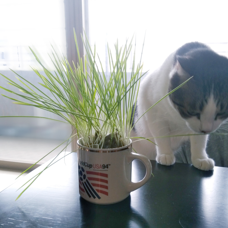 猫草、ハウスブレンド